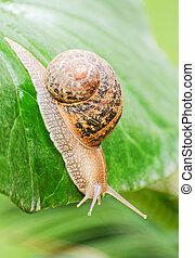 Snail crawling on green leaf.
