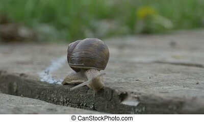 Snail Crawling on Plank