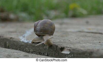 Snail Crawling on Plank - Close up shot of a snail crawling...