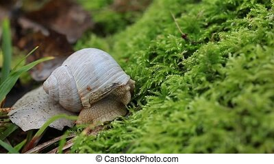 Snail crawling on the forest moss in summer