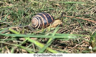 Snail crawling on the green grass. Fast motion. Time lapse.