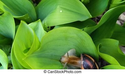 Snail crawling on the green leaves of lily of the valley. ...