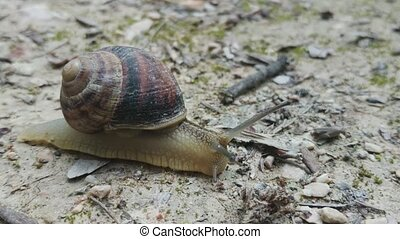Snail crawling on the road - Big snail in shell crawling on...