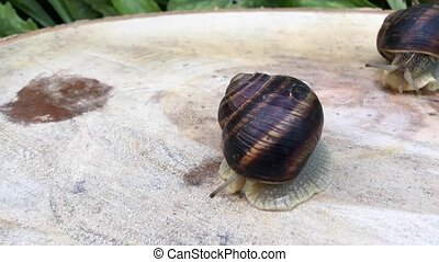 Snail crawling on the stump