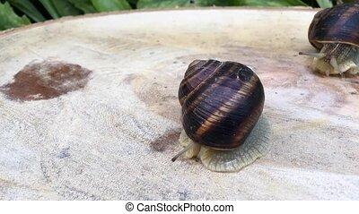 Snail crawling on the stump