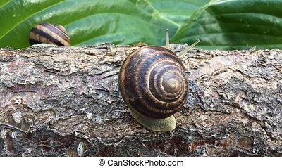 snail crawling over a log and disappears, timelapse