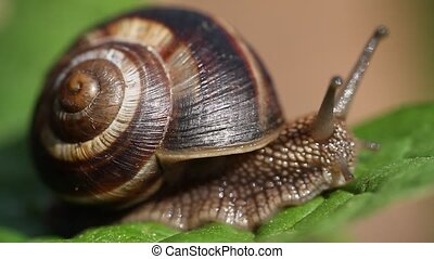 Snail crawling on green leaf in garden