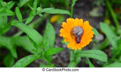 Snail crawls along the orange calendula - the snail crawls...