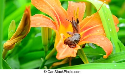 Snail crawls along the orange daylily