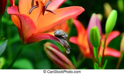 Snail crawls along the orange lily