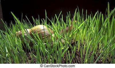 Snail crawls in grass