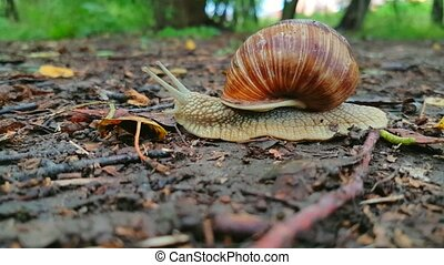 Snail crawls on the ground macro. Speed increased