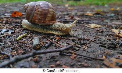 Snail crawls on the ground macro.