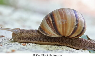 snail creeping by stone HD video 1920x1080 slow motion