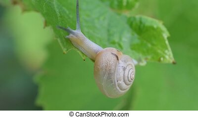 Snail creeps on the edge of a green leaf, close-up view,...