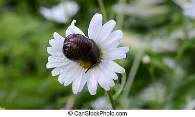 snail daisy flower center
