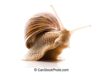 snail., dier, vrijstaand, op, de, witte