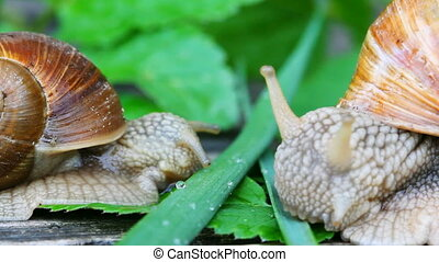 snail eat grass
