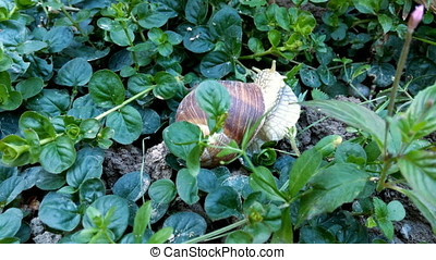 Snail eating green leafs