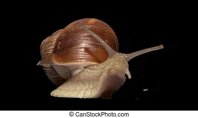 snail front isolated - Isolate garden snail
