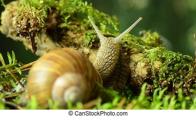 Snail. Grape snail in the natural habitat 43. - Snail. Grape...