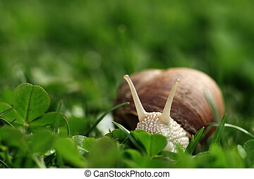 Snail. Helix pomatia. - Crawler snail. Creeper snail after...