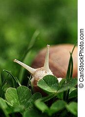 Snail. Helix pomatia.