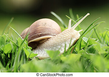 Snail (Helix pomatia) - Crawler snail. Creeper snail after...