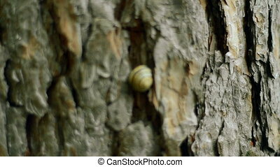 snail in a shell on the bark of a tree in the forest