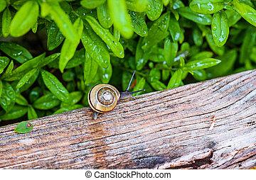 Snail in a wet garden