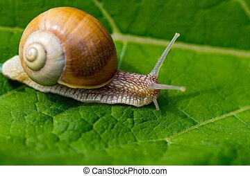 snail in the garden on green leaf