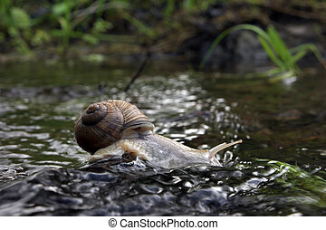 Snail is drinking on the rock in the water