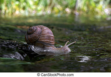 Snail is swimming on the rock in the water
