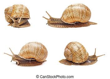 Garden snail isolated on white background. Set of snails.