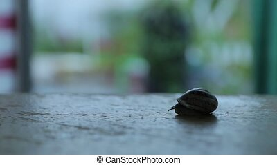 Snail Looks Out Of Shell - The snail crawls in the garden at...
