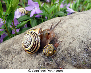 Snail - mother and baby climbing on a rock