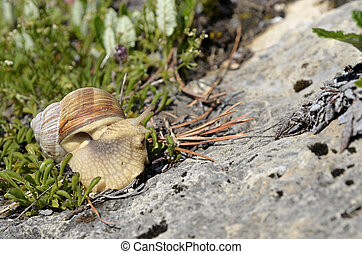 Snail of Burgundy in the Alps