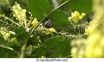 Snail On a Flowering Holly Tree Leaf with a Bee Polinating -...