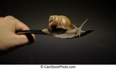 Snail on a fork. Eating grape snails in food - Live snail on...