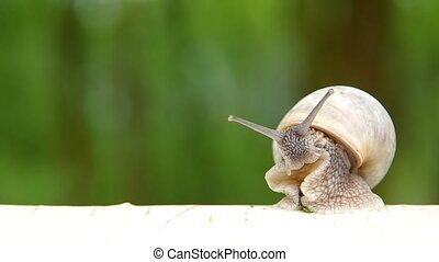 Snail on birch wood - Snail on a birchwood and green...