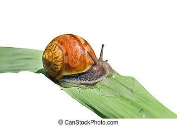 Snail on grass-blade 6