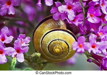 Snail on pink butterfly bush flowers