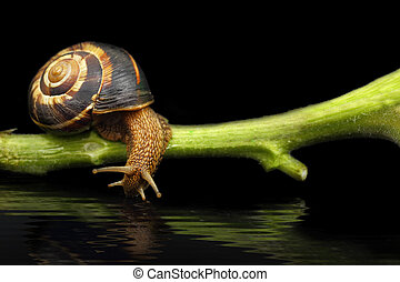 Snail on plant stem drinking water on black background