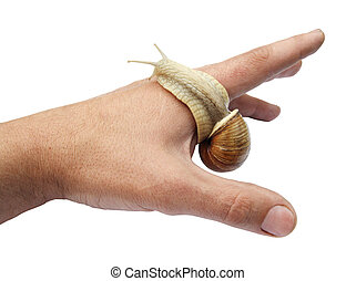Snail on the index finger. (Helix aspersa) - Snail on the...