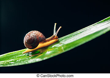 snail on the leaf against black background