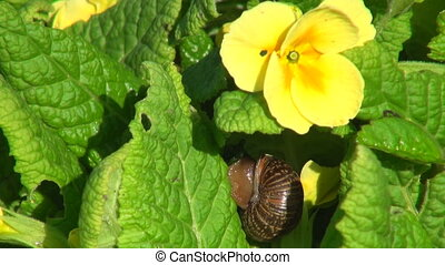 Snail on the leaf of a yellow flower.