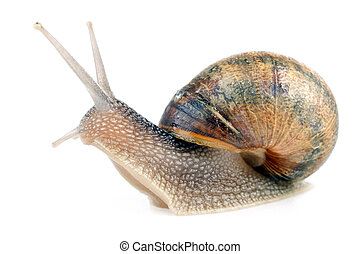 snail on white - common european snail Helix aspersa...