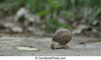 Snail on Wood Crawling - A big forest snail is crawaling on...