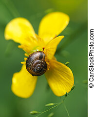 snail on yellow buttercup