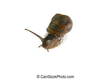 Snail over white background - Garden Snail, Helix aspersa...